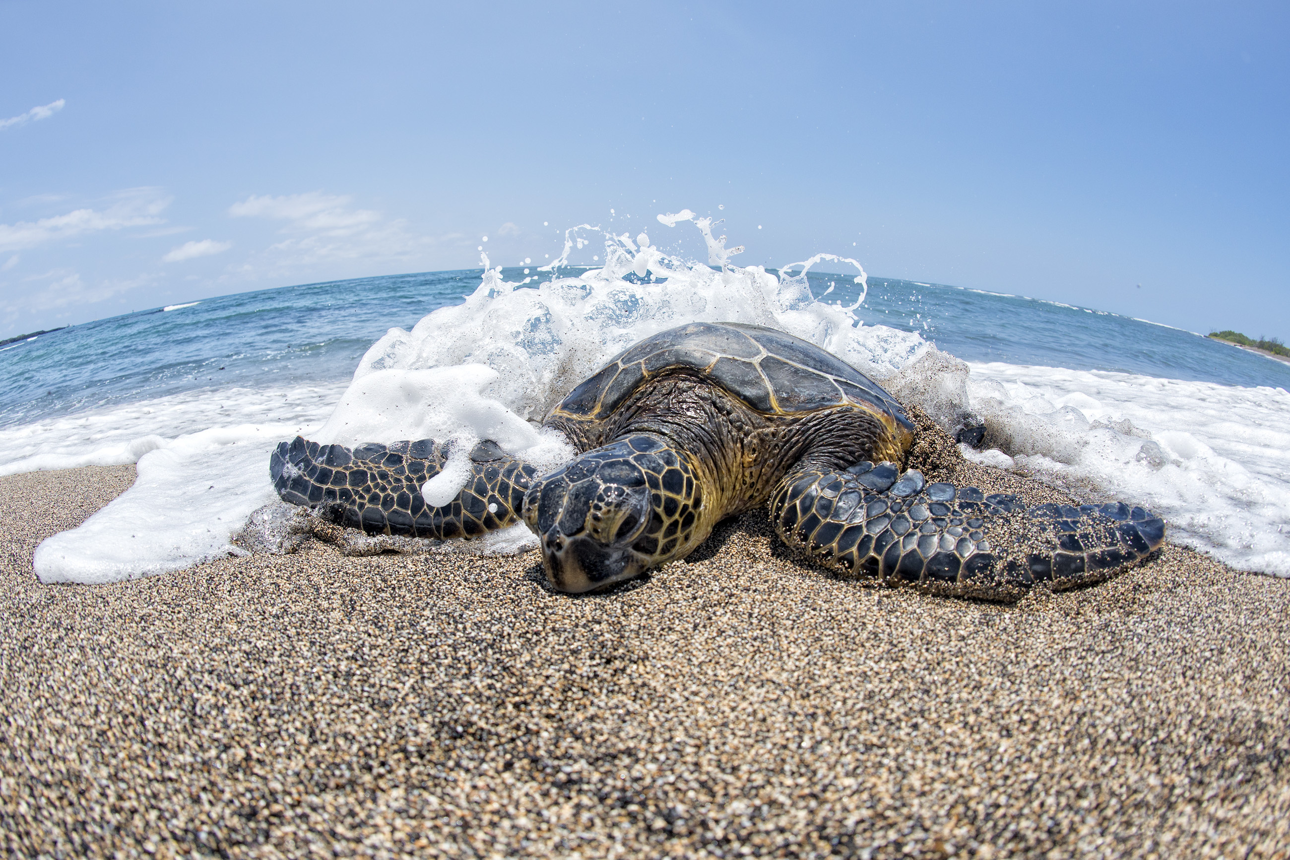 Hawaiian Green Sea Turtles on Oahu's sandy beach | Ohana Circle Island Tour